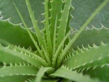 Macro della pianta succulente con le spine dorsali Fotografia Stock