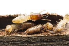 Macro della termite Fotografia Stock