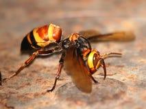 Macro della vespa Immagini Stock
