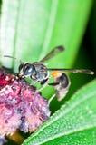 Macro della vespa Immagini Stock Libere da Diritti