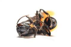 Macro della vespa di carta (metricus di polistes) Fotografia Stock Libera da Diritti