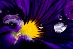 Macro della viola del fiore Fotografia Stock Libera da Diritti