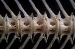 Macro delle ossa asciutte del pesce gatto immagini stock