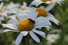 Macro dello scarabeo Immagini Stock Libere da Diritti
