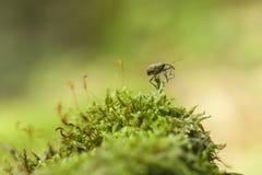 Macro dello scarabeo del tonchio fotografia stock