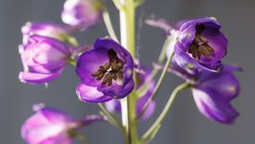 Macro of Delphinium Flower inflorescence royalty free stock photos