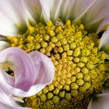 Macro dentellare del crisantemo quadrata Fotografia Stock