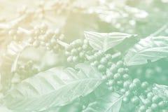 Macro des baies de café dans le filtre de couleur Photos stock