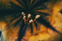 Macro des certains pistils et étamine d'une fleur jaune de solandra Images libres de droits