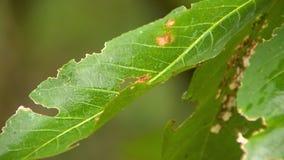 Macro des dommages d'insecte d'apparence de feuille banque de vidéos