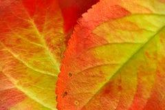 Macro des feuilles d'automne rouges et vertes images stock