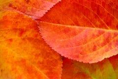 Macro des feuilles d'automne rouges et vertes photographie stock libre de droits