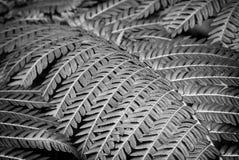 Macro des feuilles de fougère en noir et blanc Photographie stock libre de droits