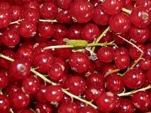 Macro des groseilles rouges fraîches photographie stock