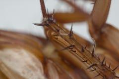 Macro des insectes de cancrelat de l'ordre Blattodea Photographie stock
