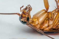 Macro des insectes de cancrelat de l'ordre Blattodea Photo libre de droits