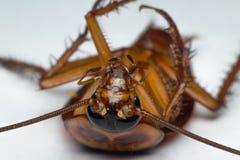 Macro des insectes de cancrelat de l'ordre Blattodea Photos libres de droits