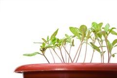 Macro des jeunes plantes de tomate Photo libre de droits