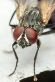 Macro des mouches ou de l'insecte de mouche Image libre de droits