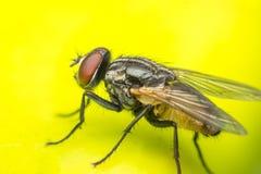 Macro des mouches ou de l'insecte de mouche Photographie stock libre de droits