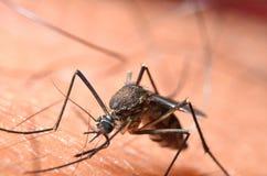 Macro des moustiques virulents sur la peau humaine photos libres de droits