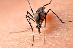 Macro des moustiques virulents sur la peau humaine images stock