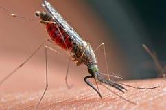 Macro des moustiques virulents sur la peau humaine photographie stock libre de droits