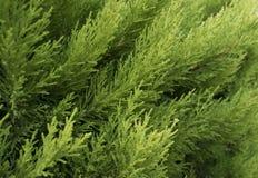 Macro des occidentalis à feuilles persistantes de Thuja de branche d'arbre photographie stock libre de droits