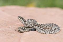 Macro des viridis sauvages de Crotalus de serpent à sonnettes de prairie de bébé Photographie stock libre de droits