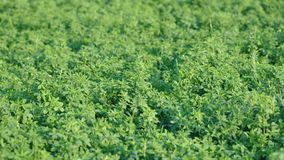 Alfalfa field. Macro detail of Alfalfa, Medicago sativa, also called lucerne Royalty Free Stock Images