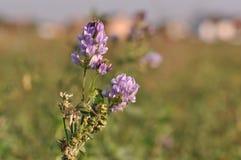 Alfalfa flower. Macro detail of Alfalfa, Medicago sativa, also called lucerne Royalty Free Stock Photo