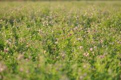 Alfalfa flower. Macro detail of Alfalfa, Medicago sativa, also called lucerne royalty free stock image