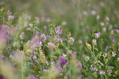 Alfalfa flower Stock Image