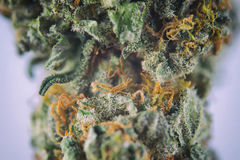 Macro detail of ambrosia strain cannabis bud with visible hairs Royalty Free Stock Image