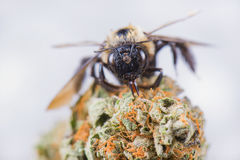 Macro detail of a bee over dried cannabis nug  over whit Stock Photo
