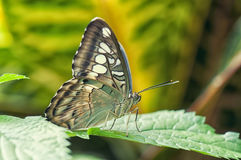 Macro detail of a butterfly perching on a leaf Royalty Free Stock Photos