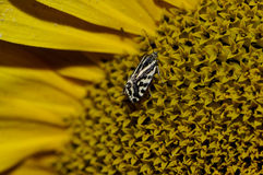 Macro detail of butterfly on sunflower. Macro detail of black white butterfly on yellow sunflower Stock Photos