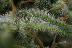 Macro detail of cannabis bud fire creek marijuana strain with Stock Photography