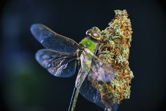 Macro detail of cannabis nugs and dragonfly over black royalty free stock photography