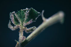 Macro detail of cannabis stem with weed leaf and trichomes ambr Stock Photography