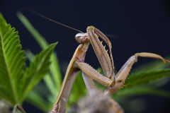 Macro detail of a Chinese praying mantis (Tenodera sinensis) stock photos