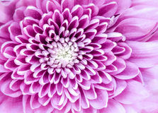 Macro detail of colorful blooming chrysantemum flower Royalty Free Stock Images