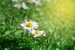 Macro Detail of Couple of Fresh Spring Daisies stock photography