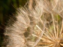 Macro of detail of dandelion flower heads Royalty Free Stock Photo
