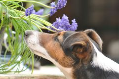 Dog smelling Blue Muscari. Macro detail of dog smelling flowers royalty free stock image