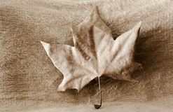Macro detail of a brown autumn leaf on cream background royalty free stock image