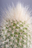 Macro detail of Echinocerus cactus. Stock Photography