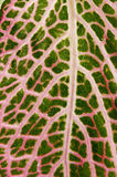 Macro detail of Fittonia leaf. Macro leaf detail of  Fittonia albivenis pink variety Royalty Free Stock Photography