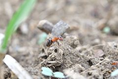Macro detail of forest ant moving small wood for building up anthill. Close up ant royalty free stock photography