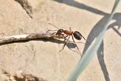 Macro detail of forest ant moving small wood for building up anthill. Close up ant royalty free stock images